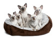 Five Siamese Kittens, 10 weeks old, sitting in cat bed