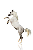 arabian horse isolated