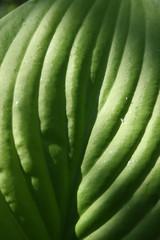 Closeup of Hosta plantaginea (Liliaceae) leaf