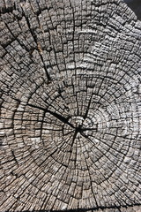 Closeup of an old tree saw cut