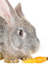 close-up rabbit