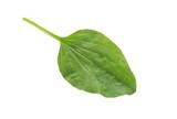 Plantain Leaf poster