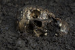 Real human skull configured as dead body on soil as crime scene.