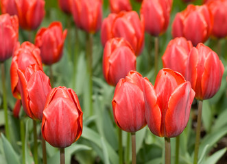 Close-up of red Dutch tulips flowerbed
