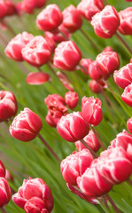 Angle shot of red Dutch tulips flowerbed