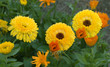 colorful spring flower garden bright golden yellow calendula