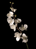 Fototapety white orchid isolated over black background