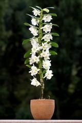 Orchidé remarquable