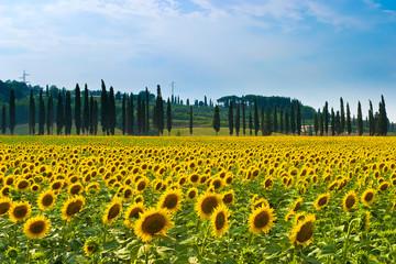 Sonnenblumenfeld mit Zypressen