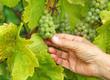 Weintrauben Weinberg - Vine Grapes Vineyard
