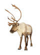 Complete caribou reindeer isolated