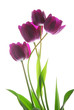 bunch of viol tulip flowers