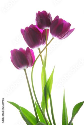 Fototapety, obrazy : bunch of viol tulip flowers