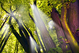 Shafts of lights piercing through dense canopy poster