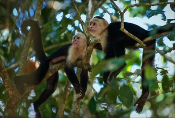 Two Capuchins.