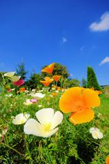 Kalifornischer Mohn - California poppy 30