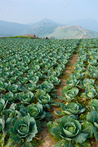 Cabbage field in thailand