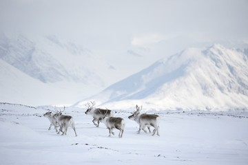 Herd of reindeers (Arctic)