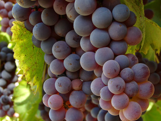 grape clusters closeup