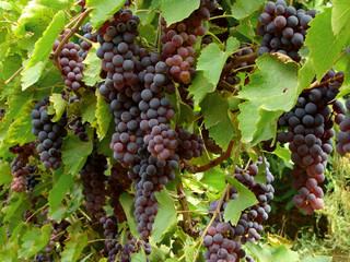 ripening grape
