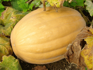 ripening pumpkin on the vegetable bed