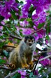 Squirrel monkey.
