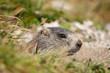 Alpenmurmeltier, Alpine Marmot, Marmota marmota