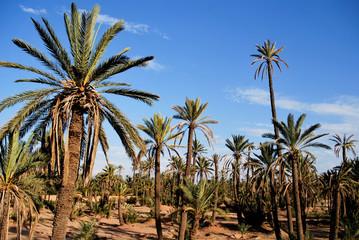 Palmeraies à Marrakech
