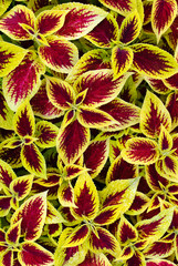 Vibrant Sun Coleus leaves