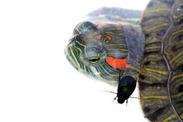 red-eared turtle and beetle