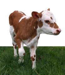 Ayrshire Hereford Cross Calf