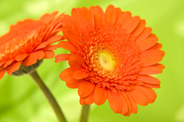 lovely gerbera flowers