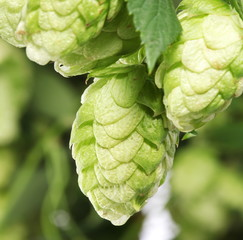 branch of hops close up