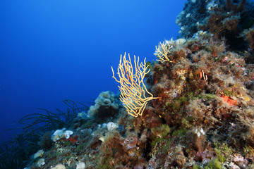 gorgonia gialla mediterraneo acquario