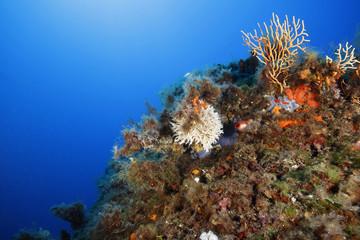 gorgonia gialla