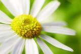 Fototapeta kwitnąć - rumianek - Kwiat
