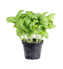 Fresh basil in plastic pot