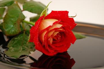 роза,отражение
