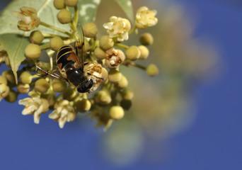 Recogiendo polen.