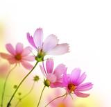 Różowe stokrotki - 25953137