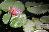 Closeup of a Pink Water Lily (Nymphaea alba) and Lily Pads
