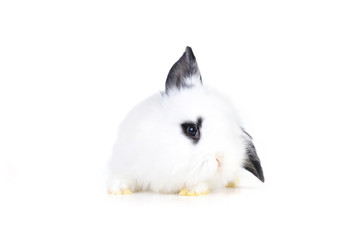 small white rabbit