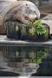 Steller sea lion sleeping at the water edge, head on a stub poster