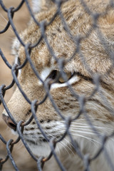 Young lynx looking through the steel mesh