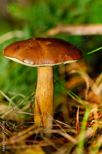 Leinwanddruck Bild Maronenröhrling (Boletus badius, syn. Xerocomus badius)