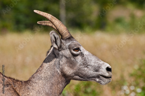 Close up of a Female Bighorn Sheep from the Canadian Rockies