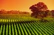 Afternoon Vines