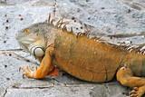 Orange Lizard - Florida Wildlife - Reptiles poster