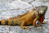 Lizard - Florida Wildlife - Reptiles poster