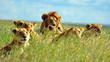 Fototapeten,serengeti,afrika,tier,schönheit